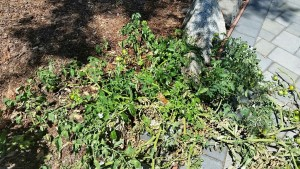lone tomato plant